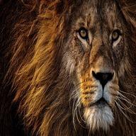 animal dp: Lion