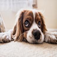 Sad dog watching lying on the Ground dp