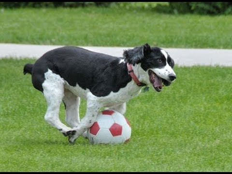 dog on football