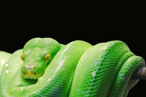 snake dp gree