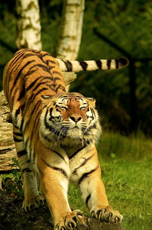 tiger good morning dp